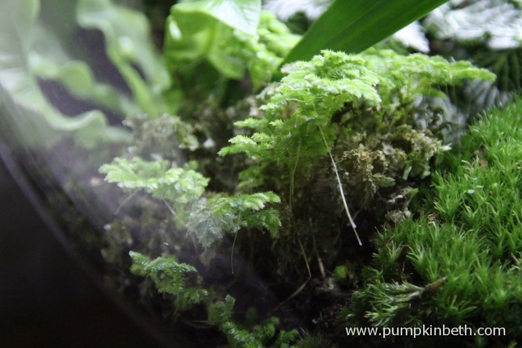 Selaginella kraussiana - not looking good after pouring rainwater directly onto the plant, 4th December 2014