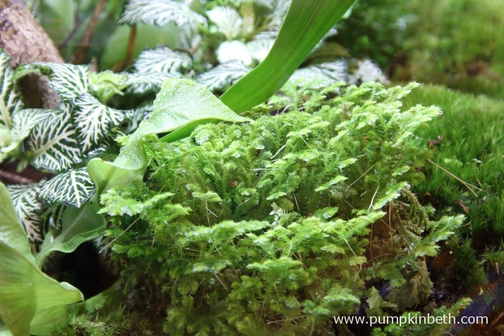 Selaginella kraussiana pictured on 9th November 2014