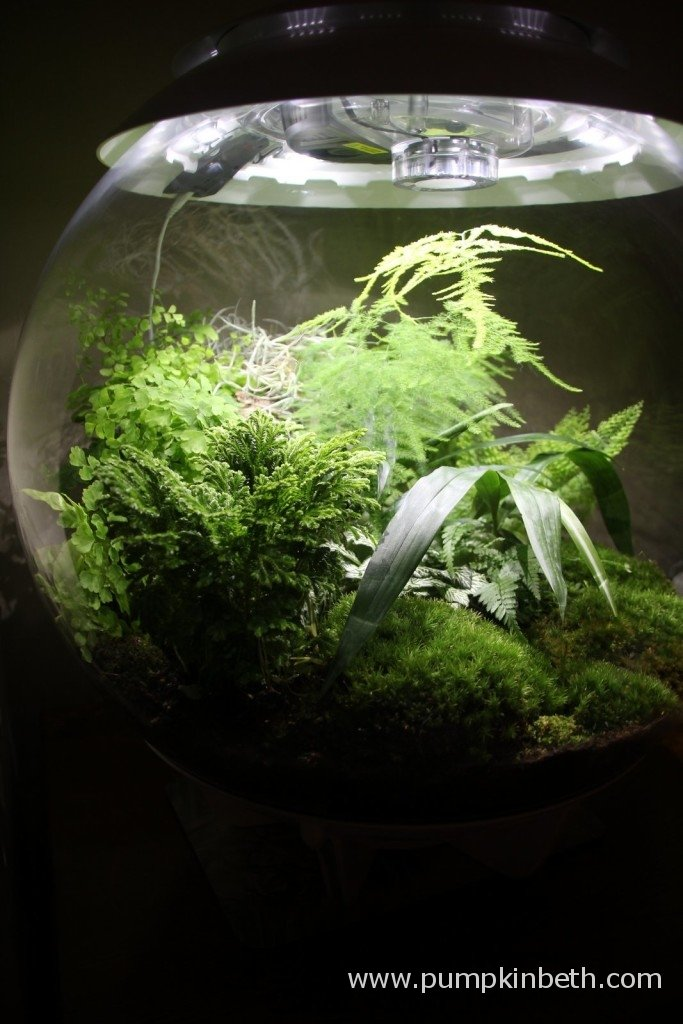 18th January 2015 The BiOrbAir with a newly planted Selaginella and Adiantum