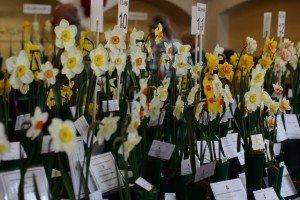 Abinger Hammer Daffodil Show 2013