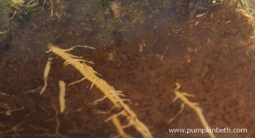 Roots of the Asparagus plumosus in my BiOrbAir 2nd March 2015