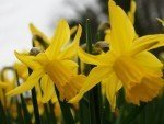 More Information About Daffodils