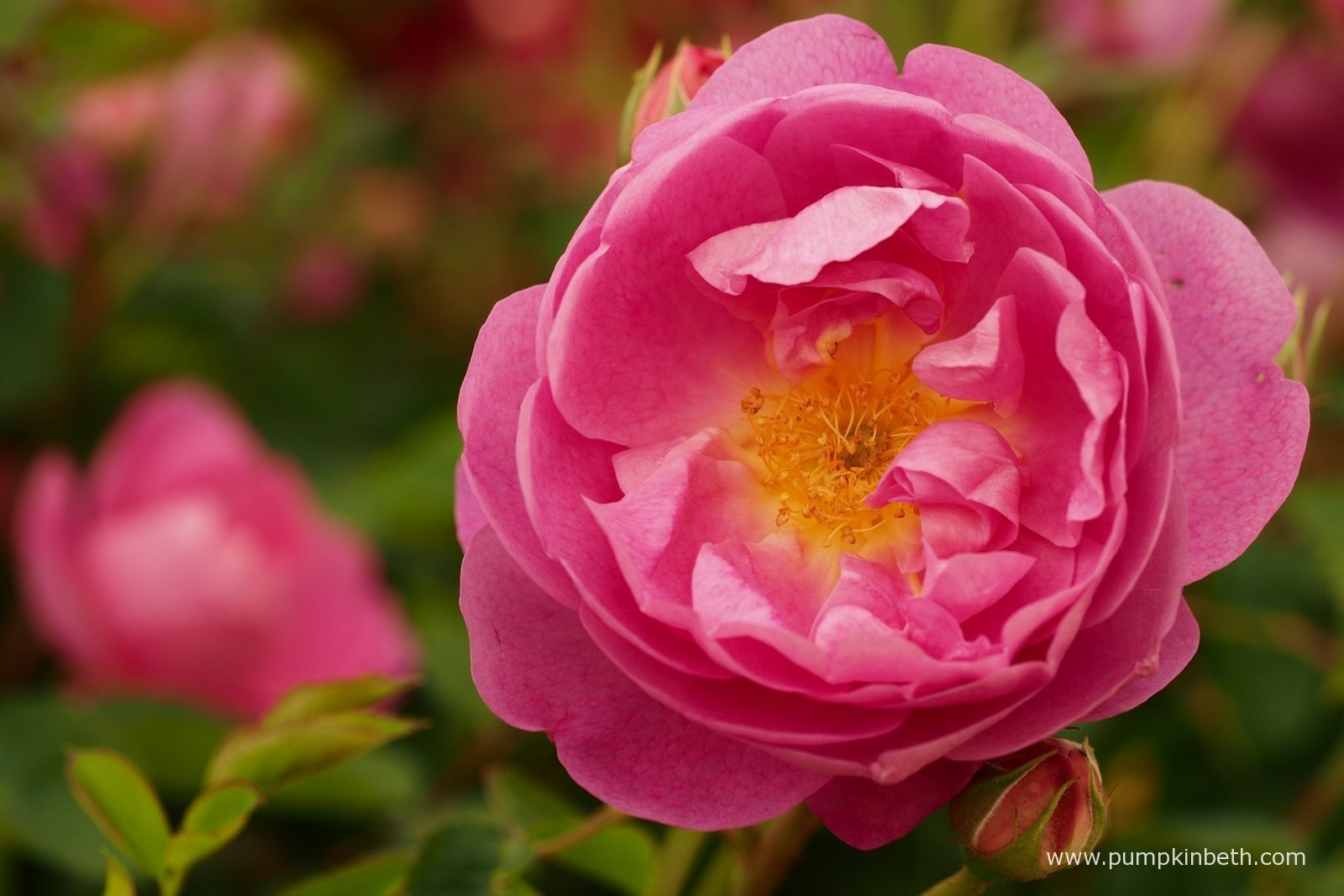 The festival of roses at the rhs hampton court palace flower show 2015 pumpkin beth - Royal flower show ...
