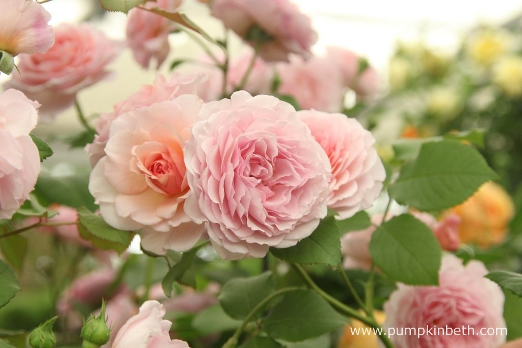 Beautiful Roses from David Austin Roses. This pretty rose is bred by David Austin and named Rosa 'James Galway'.