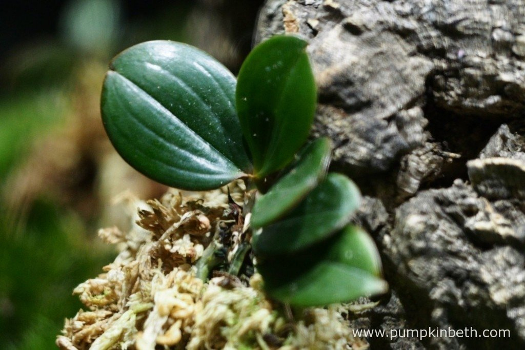 My Aerangis fastuosa pictured in my Miniature Orchid BiOrbAir terrarium, on the 20th September 2015. This miniature orchid was found to be suffering from a virus. I will be keeping a close eye on all my orchids, but especially this one and will update this review with their progress.