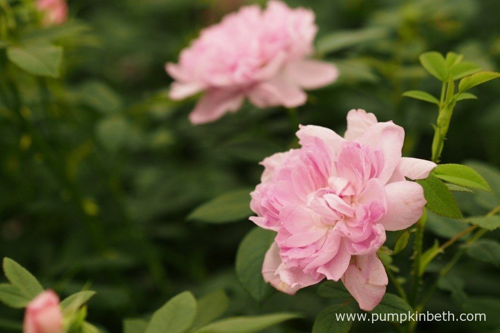 Rosa 'Sir Walter Scott' is another new variety from David Austin Roses. Also launched at the 2015 RHS Chelsea Flower Show, Rosa 'Sir Walter Scott' is a repeat flowering rose with a Scottish Rose in its breeding; this pretty rose has an old rose fragrance.