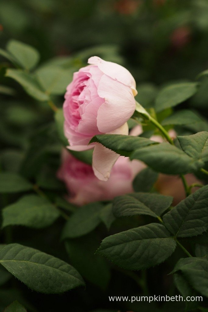 It's always exciting to see David Austin's new rose introductions, which are launched at the RHS Chelsea Flower Show every year. Here's one of this year's new varieties, Rosa 'The Ancient Mariner', a pretty, pink rose, with a delicate myrrh fragrance.