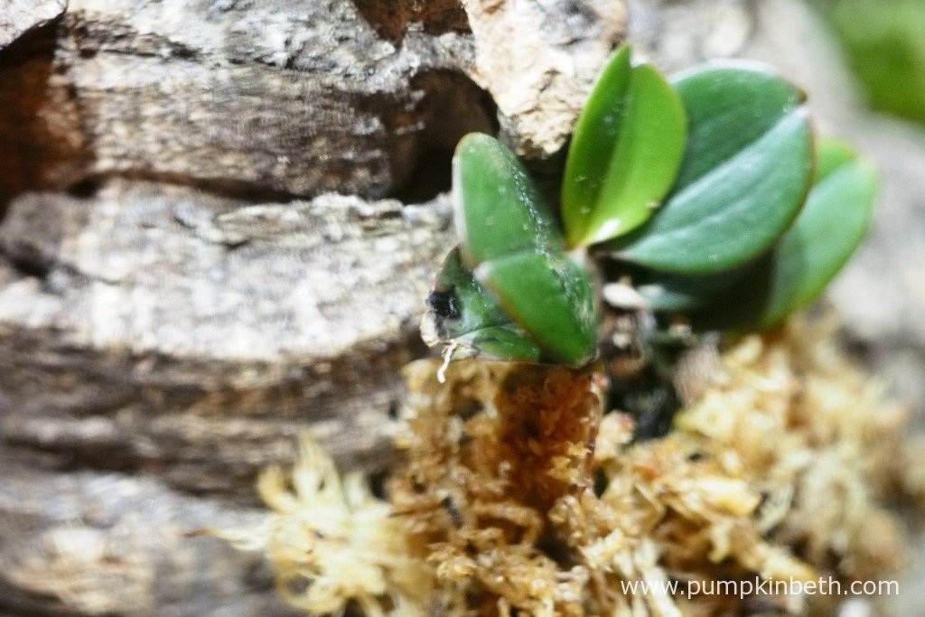 My Aerangis fastuosa on 3rd September 2015. This miniature orchid is suffering from a virus. Since this photograph was taken I have removed the leaves which are showing signs of infection from the virus, ensuring that I sterilised my tools between each cut and every leaf removal.