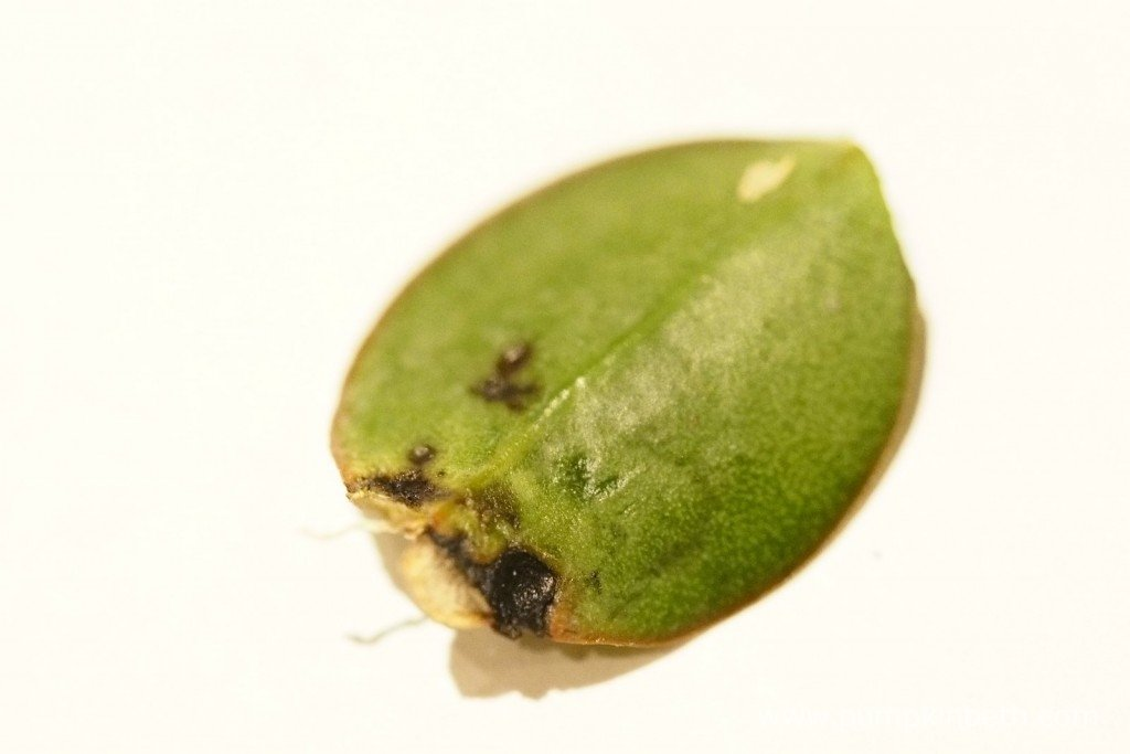 An infected leaf from the Aerangis fastuosa on 3rd September 2015. The leaf shows signs of black depressions and markings, which look to be caused by a virus.