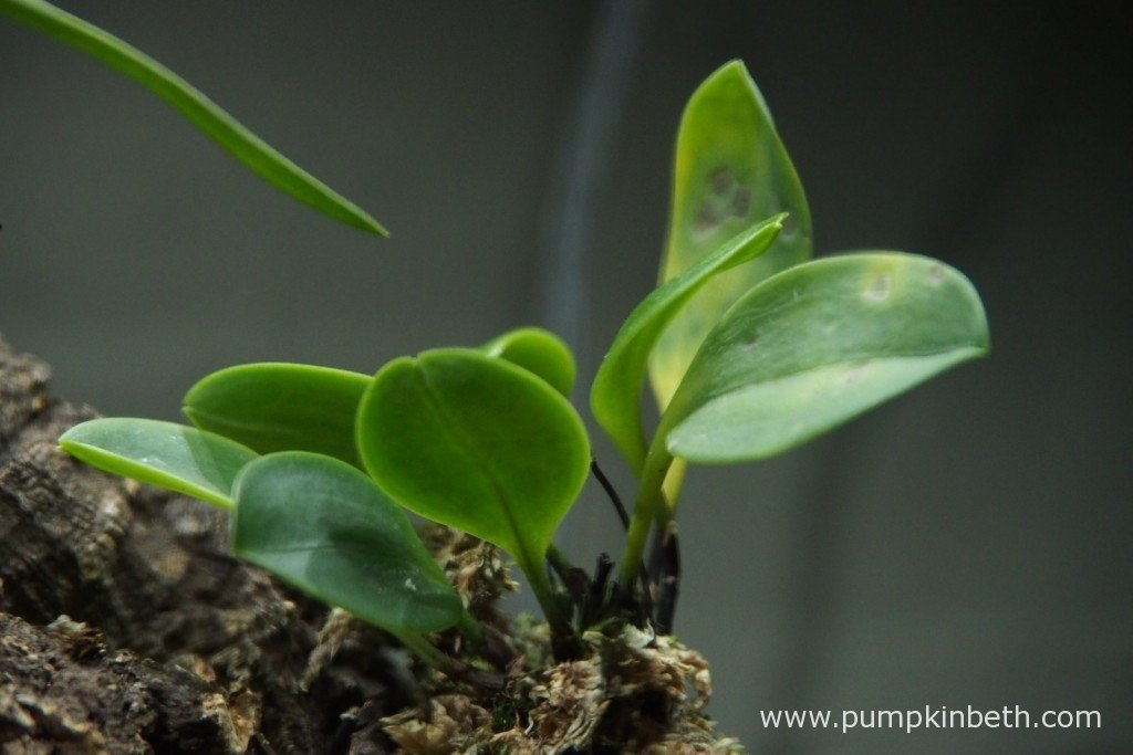 My Masdevallia decumana, looking in a poor state inside my Miniature Orchid BiOrbAir on 3rd September 2015.