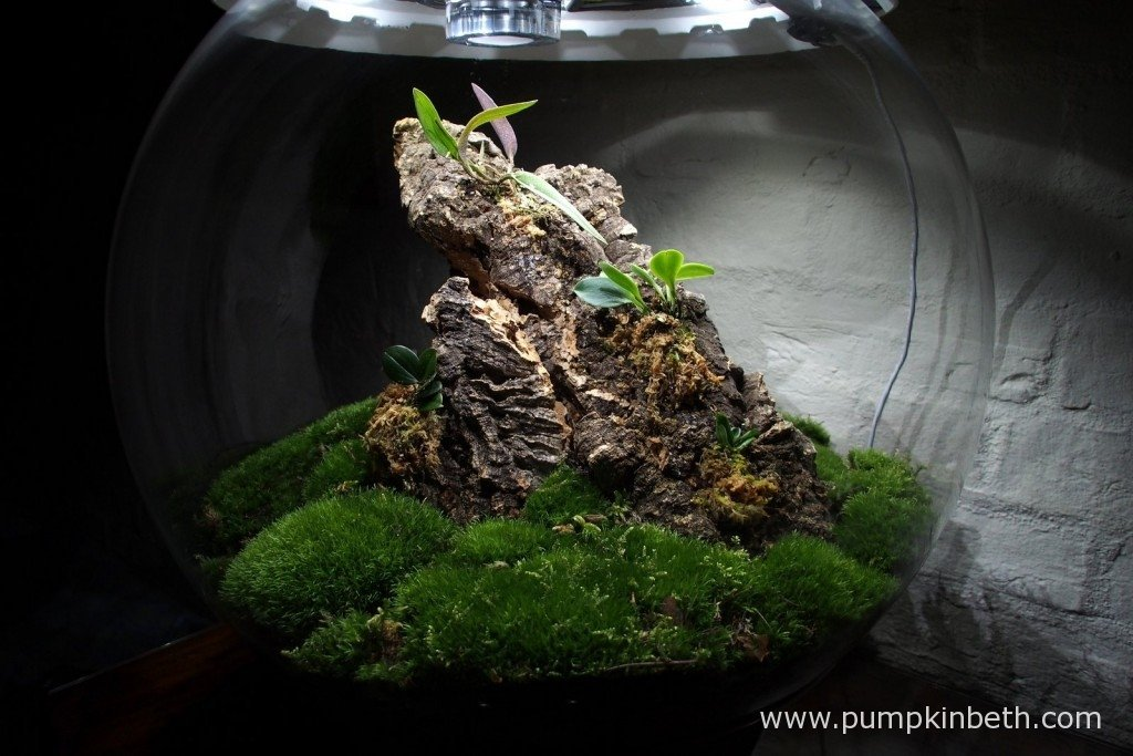 My Miniature Orchid BiOrbAir terrarium, pictured on the 15th September 2015.