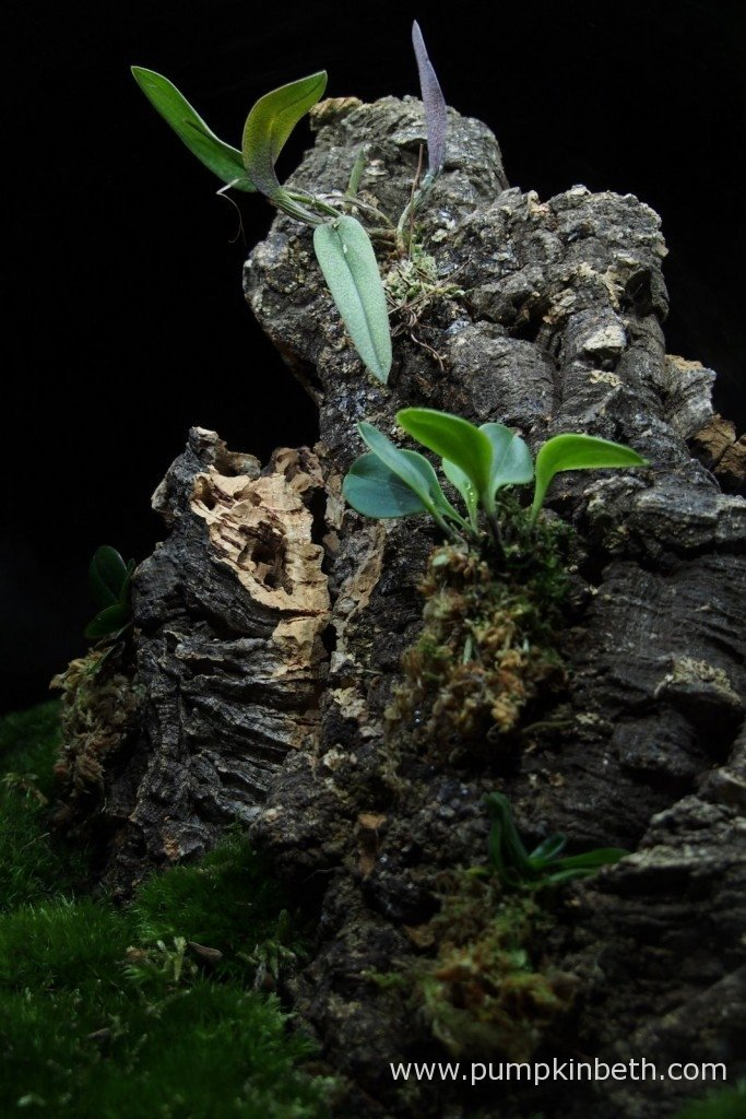 My Domingoa purpurea (top) and Masdevallia decumana (below) pictured in my Miniature Orchid BiOrbAir terrarium, on the 15th September 2015.