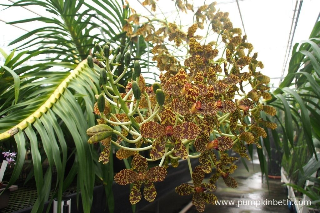 The largest orchid in the world, Grammatophyllum speciosum, also known as the Queen of Orchids, in flower in the Tropical Nursery, behind the scenes at The Royal Botanic Gardens, Kew. In this image you can see the new flower buds developing. This orchid flower is yet to reach its full size! Photograph taken on 24th September 2015.