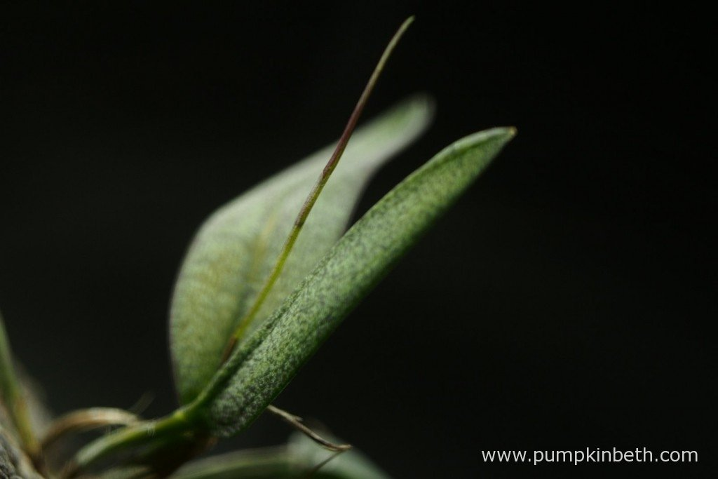 A close up of my Domingoa purpurea inside my Miniature Orchid BiOrbAir on 1st October 2015. Could this be the early signs of a flower developing?