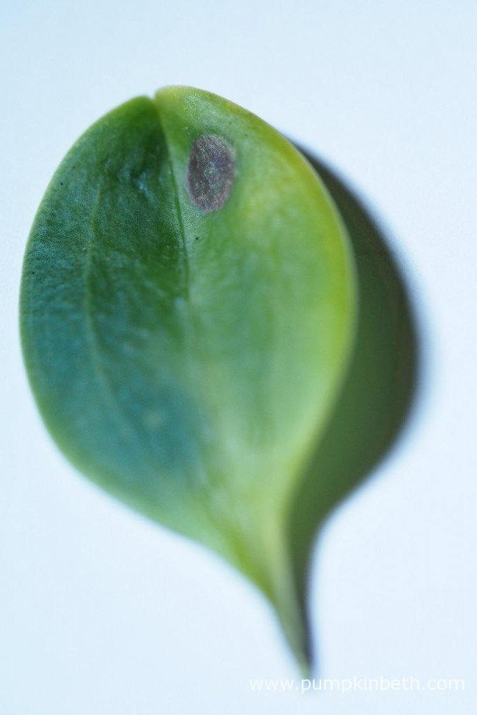 Here's the leaf I removed from my Masdevallia decumana on 21st October 2015. This miniature orchid is suffering with colletotrichum leaf spot. You can see the underside of this same leaf in my next photograph.