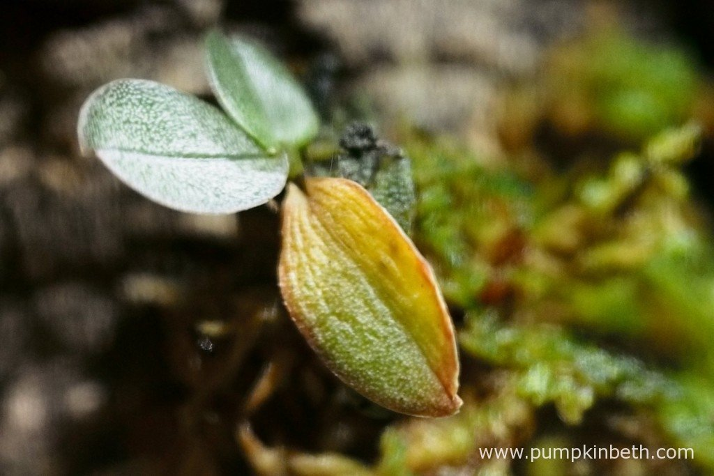 Here's my Aerangis punctata on the 29th October 2015, as you can see the colour of the lower leaf has changed quite dramatically in just a few days.