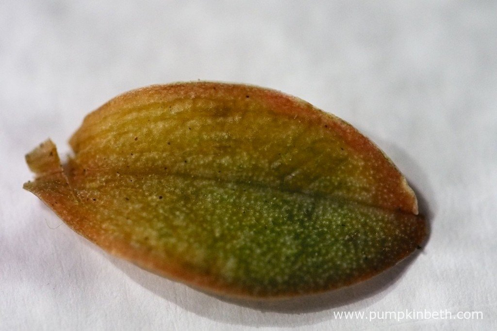 Here's the leaf I removed from my Aerangis punctata on the 29th October 2015.