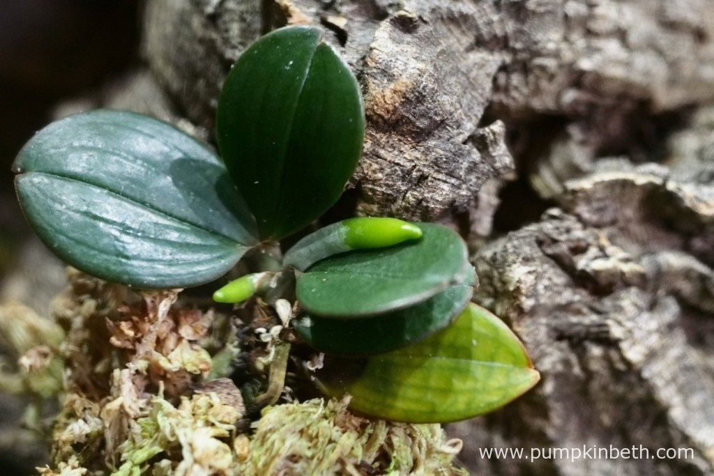 My Aerangis fastuosa on 3rd November 2015. The health of this lower leaf has declined further, as is shown in this photograph.
