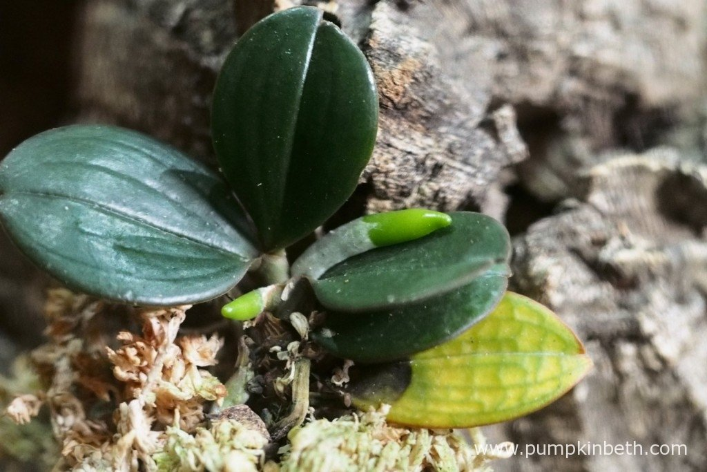 My Aerangis fastuosa on 4th November 2015. I couldn't leave it any longer and this lower leaf was removed after this photograph was taken. I sterilised my tools before and after the leaf was removed. You can see the black markings and depressions at the base of the leaf, which is by now quite a bright yellow colour.