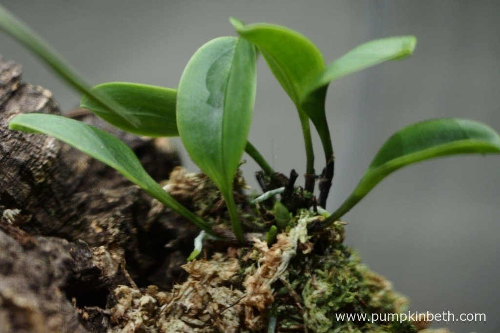 Here's my Masdevallia decumana on 6th November 2015, you might just be able to see new leaves forming at the base of the plant.
