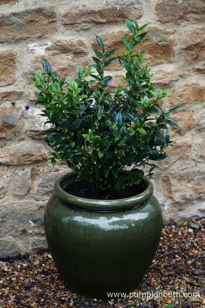 I used Dalefoot Composts' peat free compost when I potted up this Sarcococca confusa, a highly-scented, winter flowering evergreen shrub. This shrub will be planted out in the spring, as soon as a space becomes available. The pot in this photograph is narrower at its opening than in the middle, with pots such as these, care is required to pot on your plant before it needs repotting so as to avoid damaging the plant's roots as you remove it from the pot.