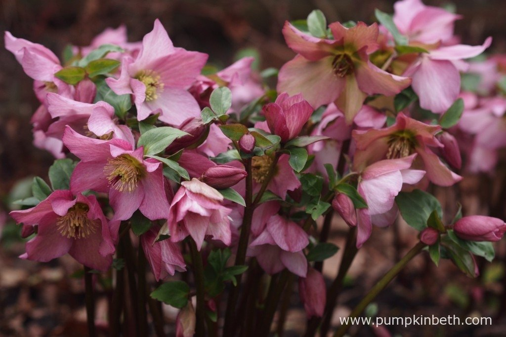 Helleborus 'Walberton's Rosemary' pictured in flower on the 1st February.