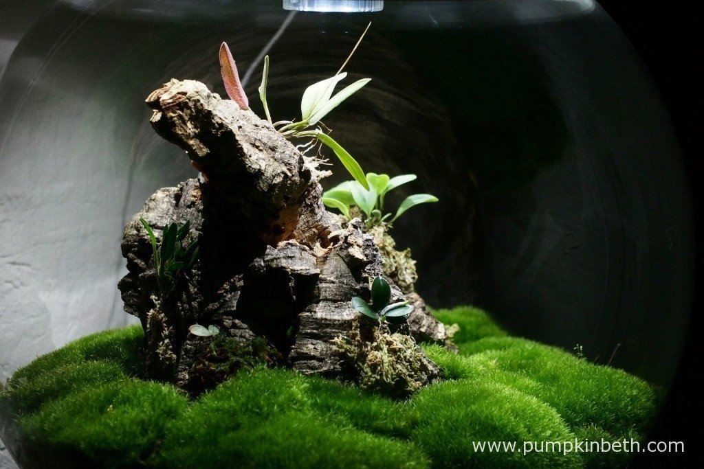 Here's my Miniature Orchid Trial BiOrbAir Terrarium, as pictured on the 25th November 2015.