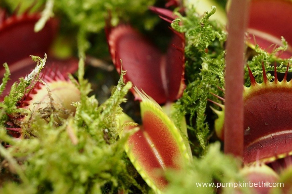 A Venus Fly Trap, also known by its botanical name of Dionaea muscipula.