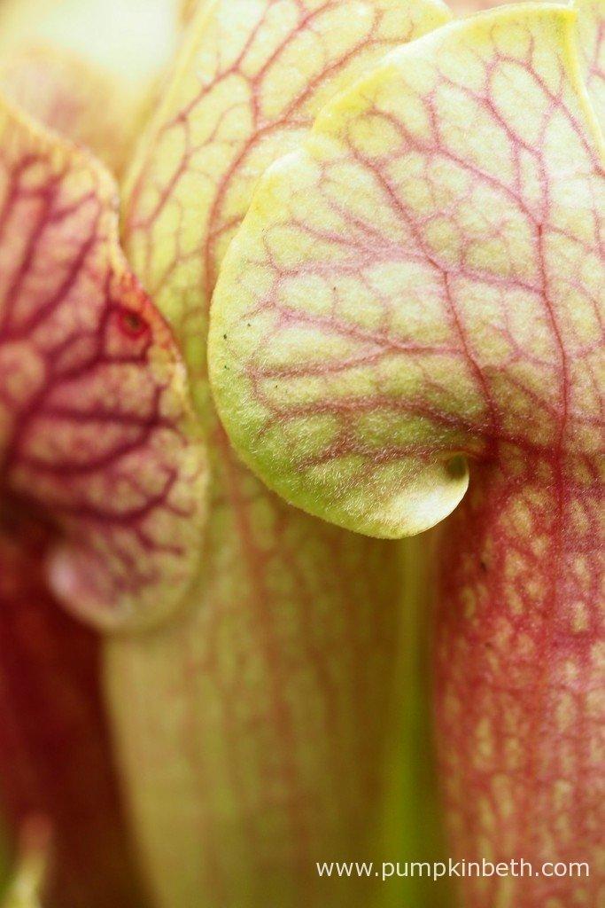 This is Sarracenia x mitchelliana x Sarracenia x swaniana.