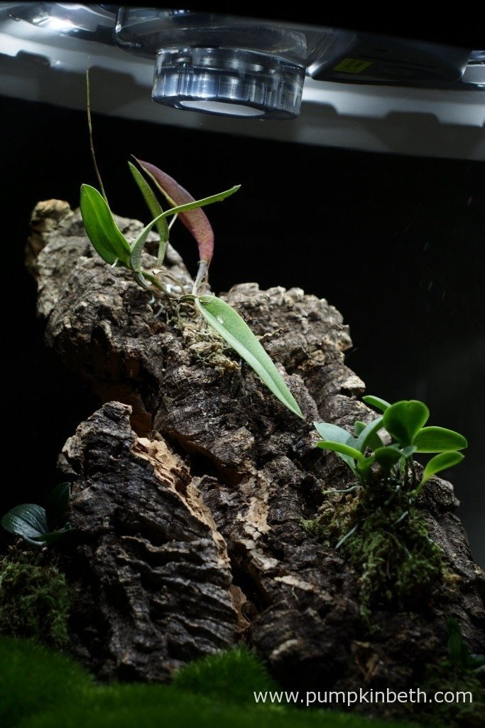 A closer photograph of my miniature orchids mounted on cork bark inside my Miniature Orchid Trial BiOrbAir Terrarium as pictured on the 1st January 2016. As you can see in this photograph, my Domingoa purpurea is growing very close to the top of my BiOrbAir Terrarium!