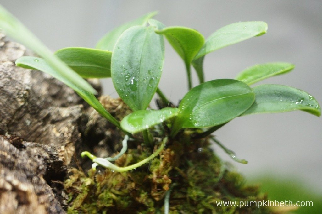 My Masdevallia decumana, as pictured on the 9th January 2016, this miniature orchid is just coming into flower and is in the earliest stage of producing flowers.