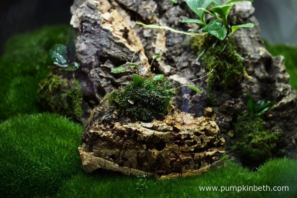 My new Lepanthopsis astrophora 'Stalky' pictured inside my Miniature Orchid Trial BiOrbAir Terrarium on the 17th January 2016, after I had removed two of this miniature orchid's leaves.