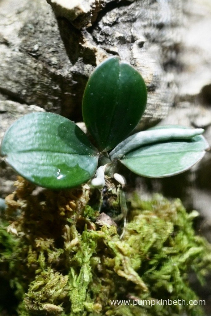 My Aerangis fastuosa as pictured inside my Miniature Orchid BiOrbAir Terrarium on the 17th January 2016.