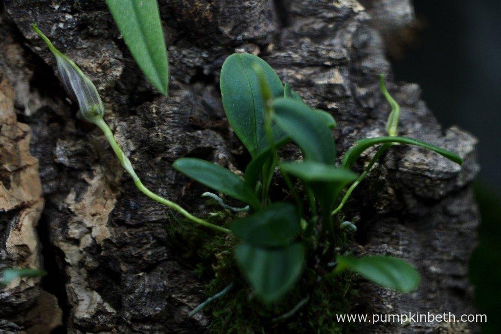 My Masdevallia decumana about to flower, inside my BiOrbAir terrarium on the 21st January 2016.