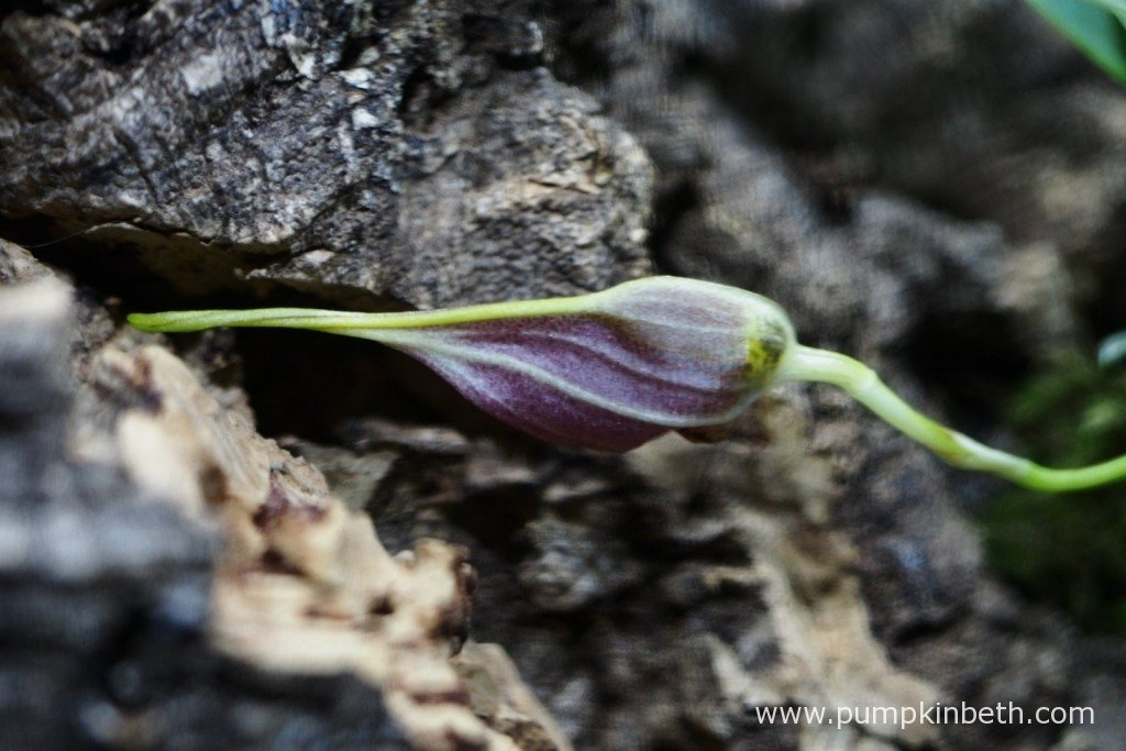 The largest of my Masdevallia decumana flower buds as pictured on the 24th January 2016 inside my Miniature Orchid Trial BiOrbAir terrarium.
