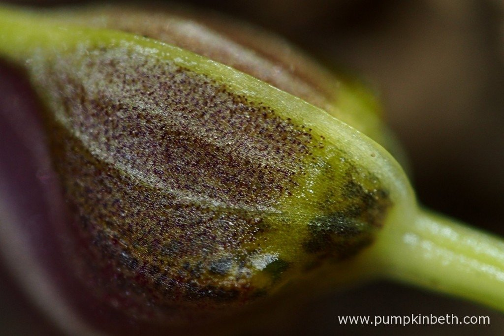 Here's a close up of the largest flower bud on my Masdevallia decumana, a miniature orchid that I enjoy growing inside my Miniature Orchid Trial BiOrbAir Terrarium. This photograph was taken on the 25th January 2016.