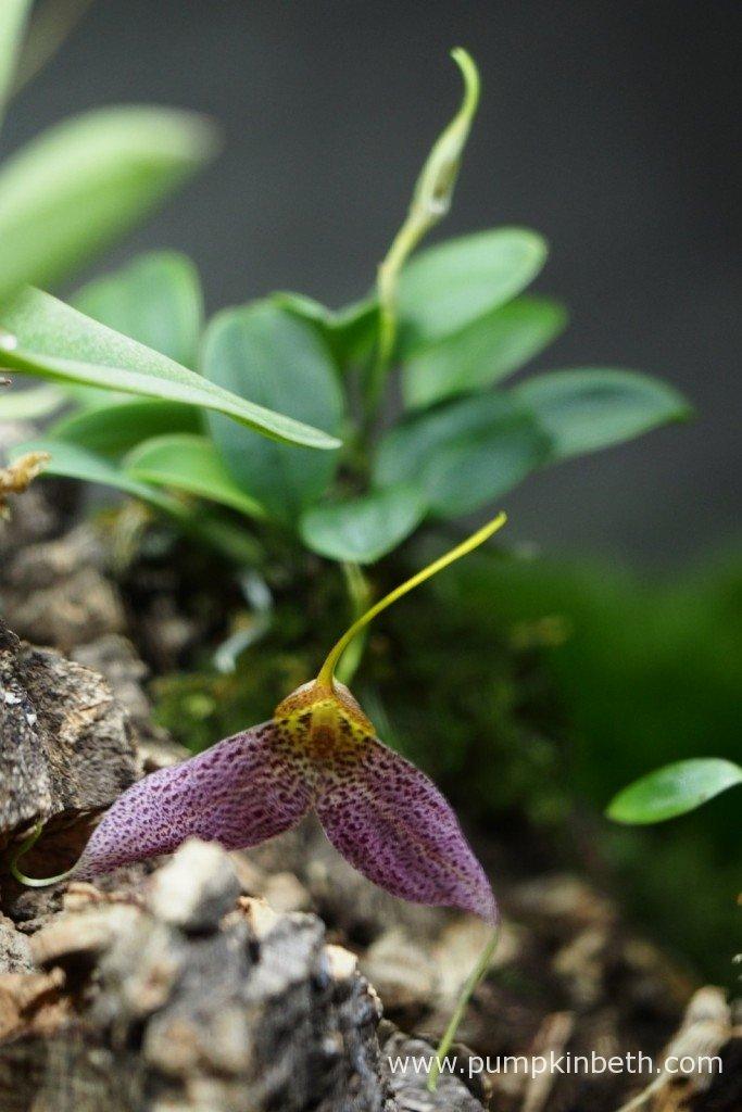 Masdevallia decumana flowering inside my Miniature Orchid Trial BiOrbAir Terrarium on the 26th January 2016.