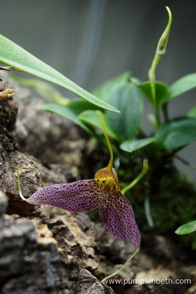 My Masdevallia decumana in flower, inside my Miniature Orchid BiOrbAir Terrarium on the 26th January 2016.