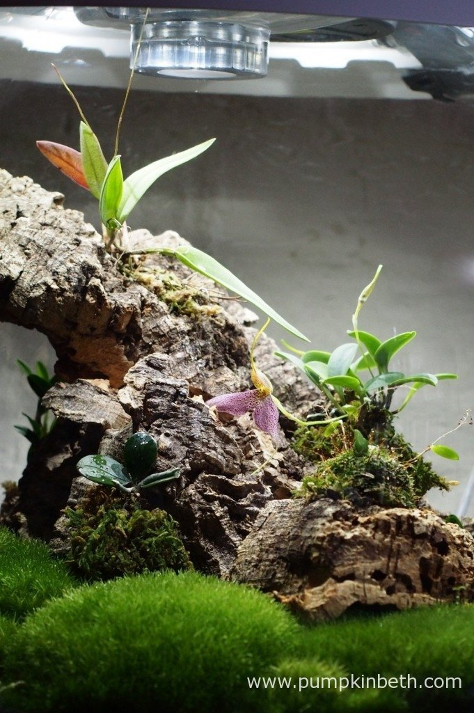 My Domingoa purpurea has almost reached the top of my BiOrbAir terrarium, there's a gap of less than a centimeter from the top of the flower spike to the top of the terrarium! Photographed on the 26th January 2016.