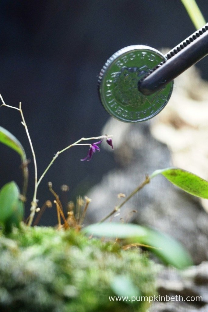 Lepanthopsis astrophora 'Stalky' pictured with a British five pence piece to show the diminutive size of its flowers. As pictured on the 28th January 2016, inside my Miniature Orchid Trial BiOrbAir Terrarium.