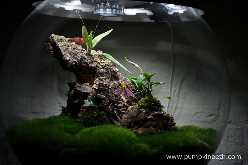 My Miniature Orchid Trial Terrarium, as pictured on the 30th January 2016. Here you can see my my Masdevallia decumana flowering and my Lepanthopsis astrophora 'Stalky', which is also flowering - you might be able to just make out its teeny, tiny flower buds below the Masdevallia.