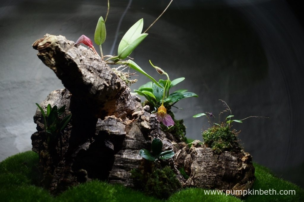 A close up of the miniature orchids which have been mounted on cork bark, and are growing inside my Miniature Orchid Trial BiOrbAir Terrarium, as pictured on the 30th January 2016.