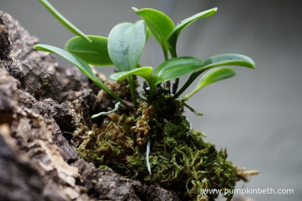 My Masdevallia decumana as pictured on the 1st January 2016. As you can see this miniature orchid is looking very healthy, and has readily produced new leaves and aerial roots.