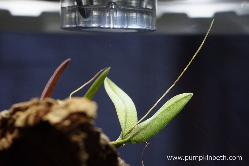 Here's my Domingoa purpurea as pictured inside my Miniature Orchid Trial BiOrbAir Terrarium on the 1st January 2016. I am enjoying watching the early stages of this orchid coming into flower; as you can see in the photograph, two flowers are being produced, one is more advanced than the other - this miniature orchid flowers in succession.