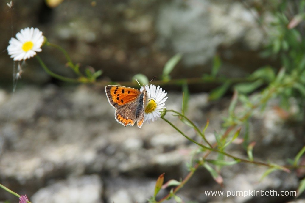 Lycaena phlaeas, also known as the Small Copper butterfly, feeding on Erigeron karvinskinanus.
