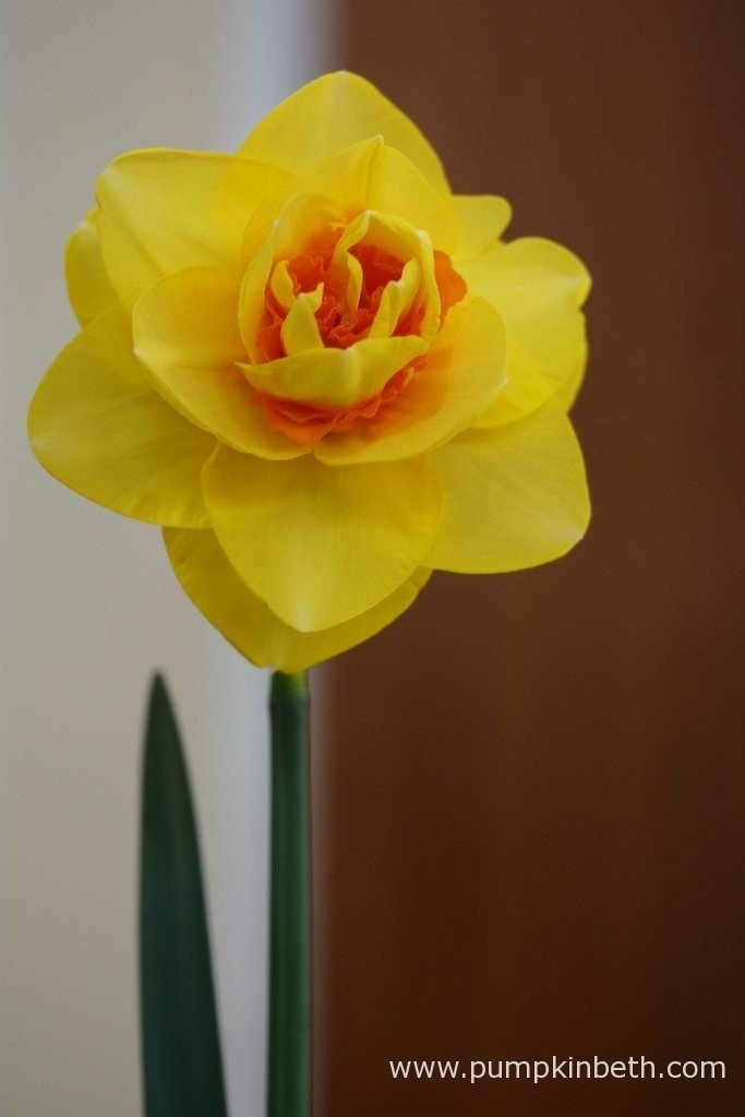 Narcissus 'Crowndale'. This double daffodil was awarded first prize in its class, it was grown by G. Oakley. This cultivar is a double daffodil, which is found in Division 4, of the RHS Daffodil Classification System.