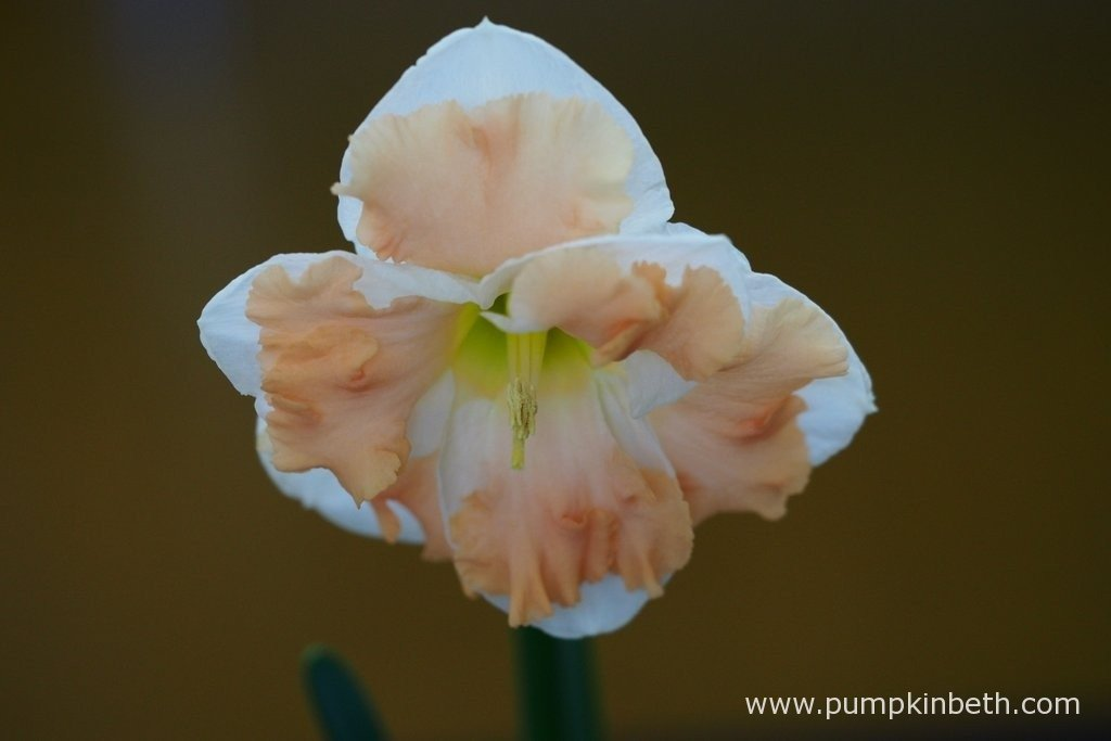 Ken Halls was awarded first prize for this example of Narcissus 'Vanilla Peach'. This Narcissus cultivar is classified into division 11a - Split Corona Daffodil Cultivars, a) Collar Daffodils of the RHS Daffodil Classification System.