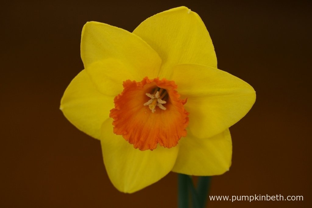 Ken Halls was awarded first prize and Best Bloom in the Open Classes from 30 - 44 for this superb Narcissus.