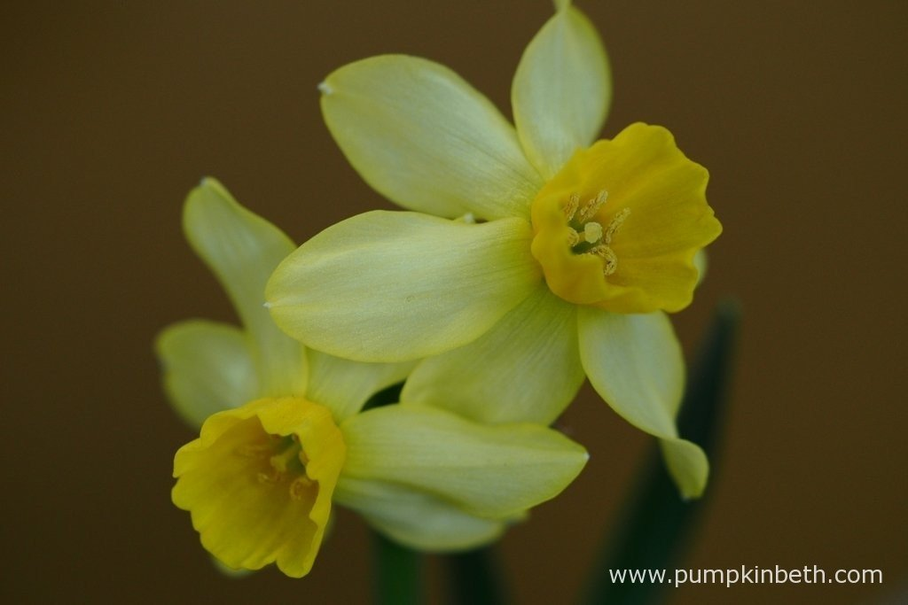 Nicky Cornell was awarded second prize for this Narcissus 'Cornish Chuckles'. N. 'Cornish Chuckles' is from Division 12 of the RHS Daffodil Classification System.
