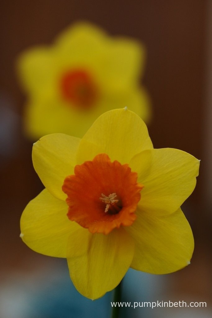 M. Baxter was awarded third prize for this Narcissus cultivar, at The Daffodil Society Mid Southern Group Spring Show 2016.
